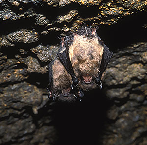 Photo: Little Brown Bats.