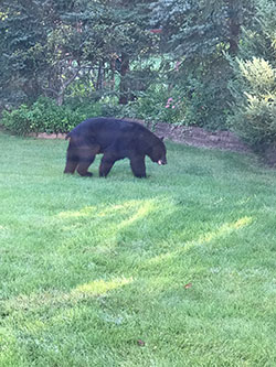 Photo of a black bear.