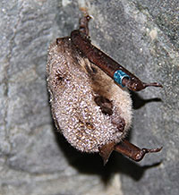 Photo: Hibernating Little Brown Bat.