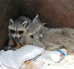 Photo of raccoon in dumpster.